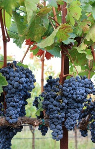 2013 Red Head Vineyard Harvest
