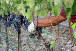 2013 Red Head Vineyard Harvest